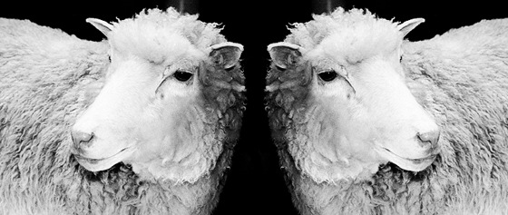 Cloned Content - Cloned Sheep
